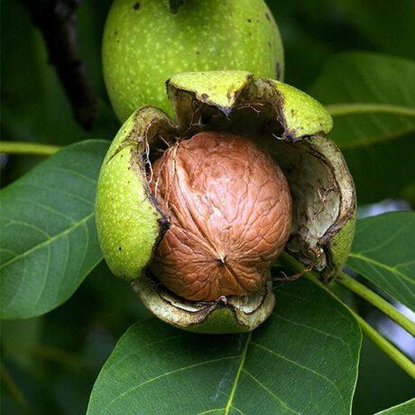 walnut noce